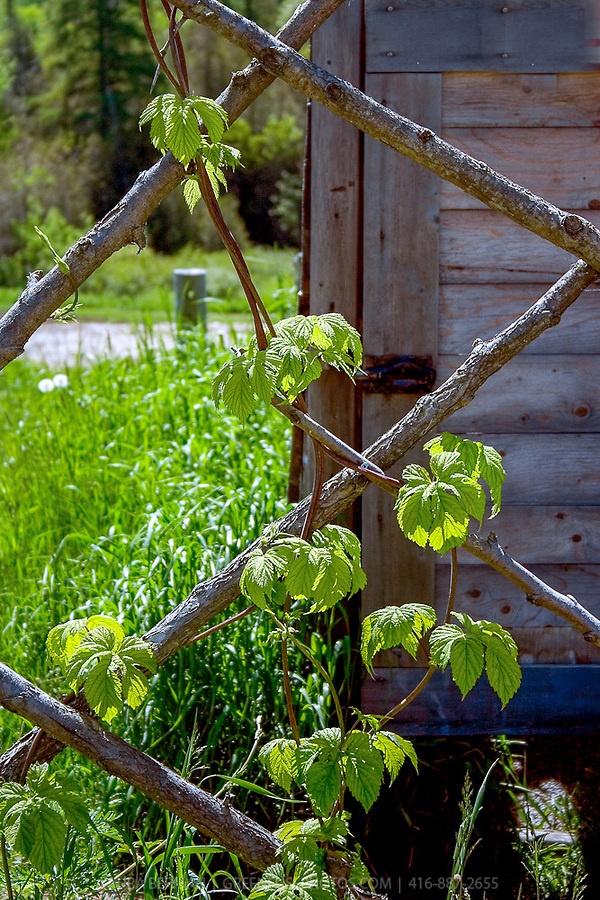 78 best images about hop trellis on pinterest gardens for Hops garden designs