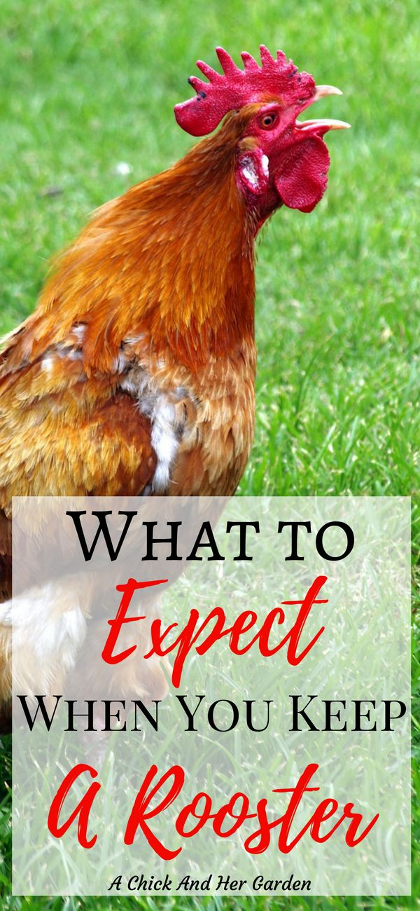 Keeping a rooster can be a good or bad thing.  If you haven't decided yet, this is a great resource of the pros and cons of keeping a rooster with your chickens. #backyardchickens #homesteading #homestead #chickens #rooster #simpleliving #selfsufficiency #achickandhergarden