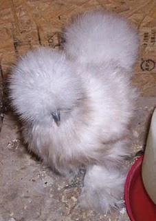 Someday I will have Silkie Chickens for pets..
