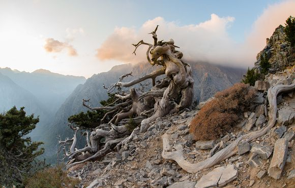 Jean Bienvenu  -   Photography | Recent Work | Ancient cypress tree in the White Mountains