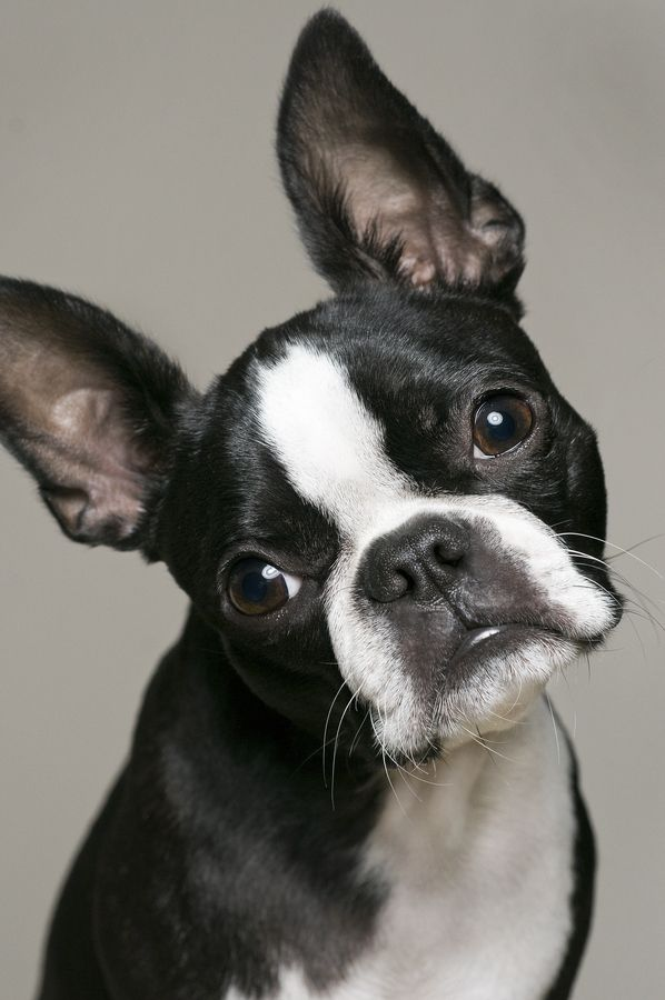 boston terrier dog names best 25 boston terrier names ideas on pinterest boston 2918