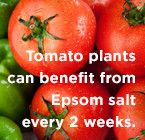Tomatoes can benefit from Epsom salt every 2 weeks. Apply 1 tablespoon diluted in water per foot of plant height per plant.