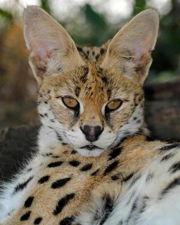 SERVAL CAT SIZE