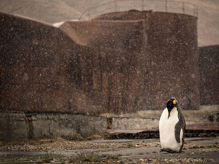 """Stazione Baleniera Fotografia di Douglas Gimesy , National Geographic Your Shot  """"Nei pressi della stazione baleniera Grytviken in Georgia del Sud, questo pinguino imperatore rimase immobile per diverse ore, come una sentinella solitaria, come fosse a guardia dei ricordi di atrocità del passato""""."""