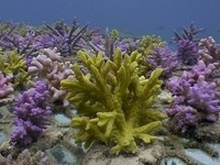 A 2009 pilot project in Fiji, Coral Gardening is a process of transplanting and growing coral in ways that help make damaged coral reefs healthy again. This clip is from the BBC's Fragile Paradise, part of their series South Pacific.