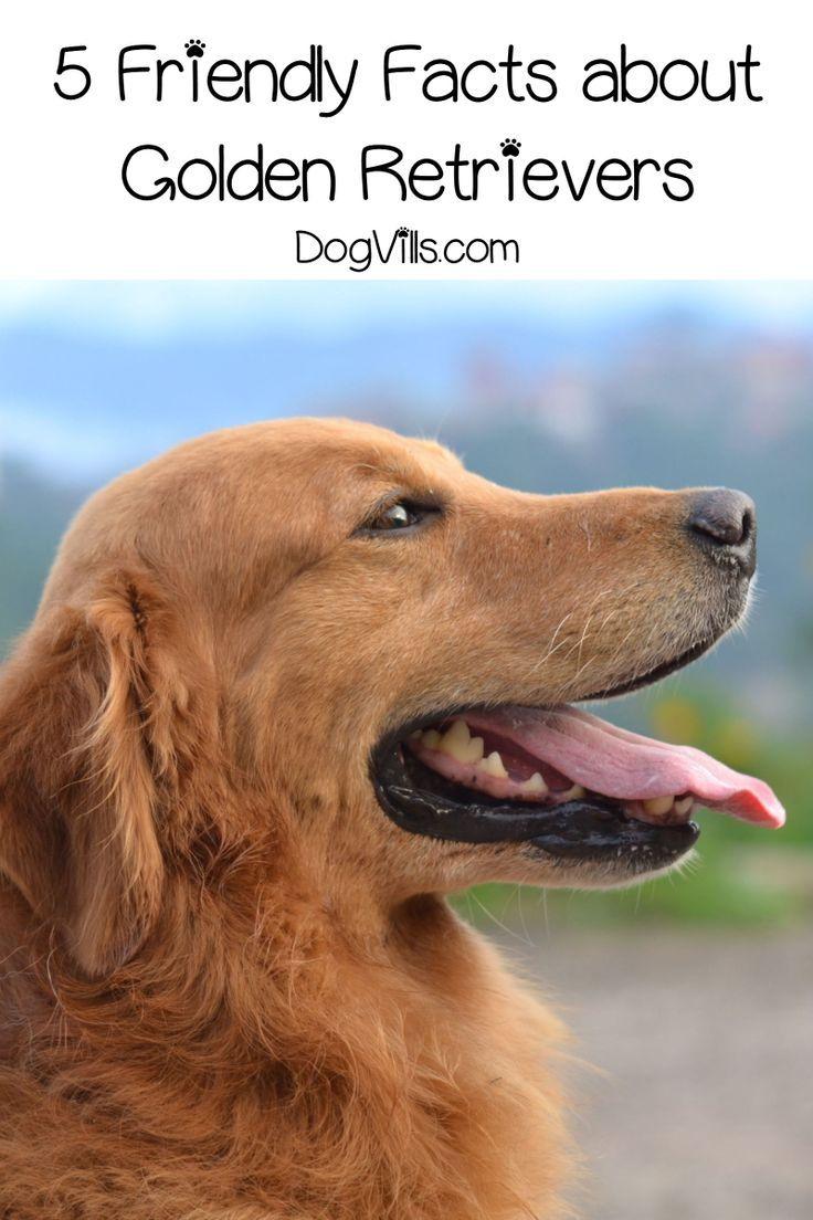 5 Friendly Facts About Golden Retrievers Dogs Golden Retriever
