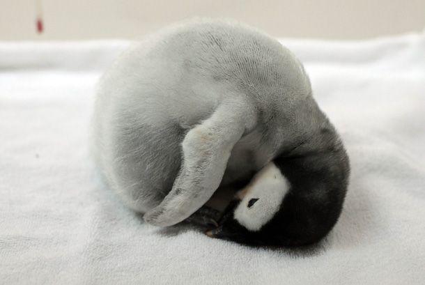 sleeping penguin chick    AWW!