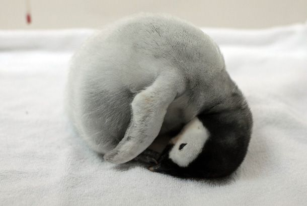 sleeping penguin chick    AWW!