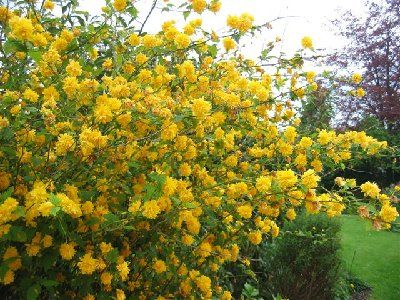 Kerria Japonica (Japanese Rose) - we've got this in our garden, it's beautiful and flowers for such a long time... and trouble-free! This and the hellebore are the first things to flower in our garden.: