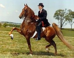 WGC CH Skywatch - one of the coolest Saddlebreds ever (and yes, I'm biased, since he's Cruiser's sire!)