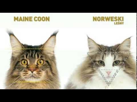 Kot norweski leśny vs Maine coon | ROYAL CANIN - YouTube