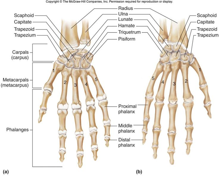Image result for hand bone anatomy