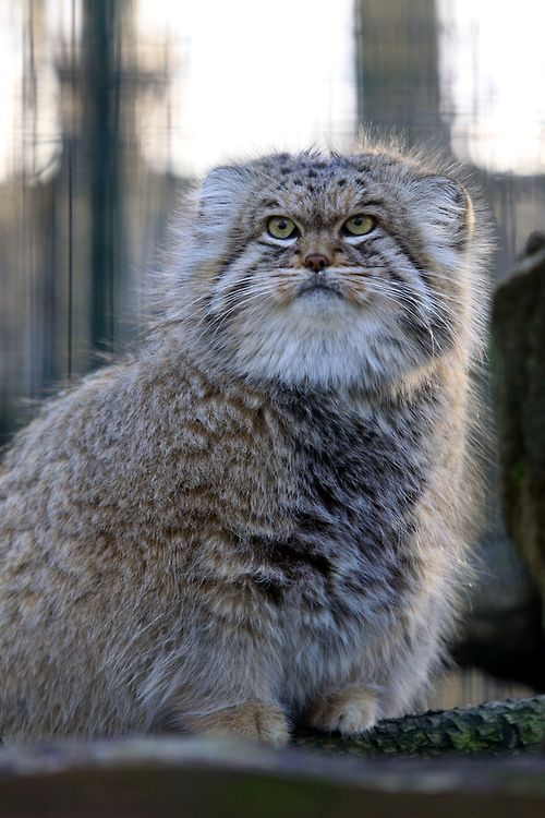 Pallas Cat, what a hottie he is! or she maybe!
