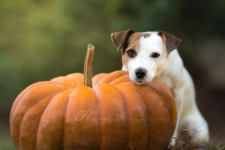 Jack Russell Pumpkin by Heavenly Pet Photography #dog #dogs #terrier #terriers #photographer