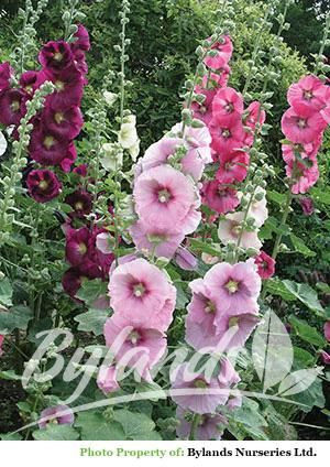 Tall, showy, old fashioned perennial with large, rounded leaves. Spikes of large single flowers appear in summer. Great planted at the back of sunny borders. Attracts hummingbirds. Good cut flower.