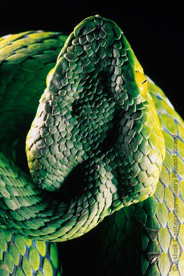 The venomous medo pit viper has a triangular head, thin ...