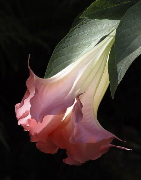 Moonflower Flowers Garden Love - via: flowersgardenlove: - Imgend