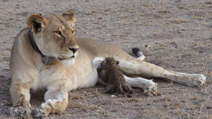 Sorpresa en el Serengueti: una mamá leona adoptó a un bebé leopardo