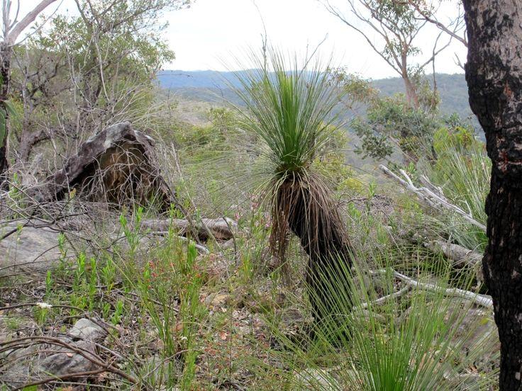 Grass tree or kangaroo tail, Xanthorrhoea sp.