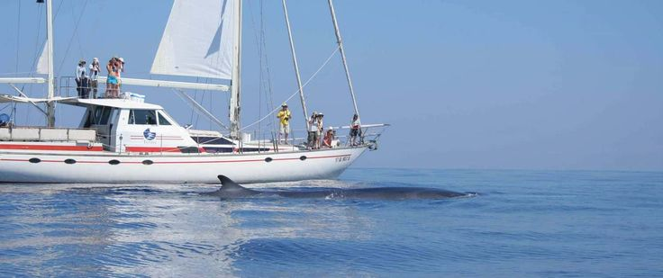 fin whale with sailing boat in . the Mediterranean. Participants help researchers