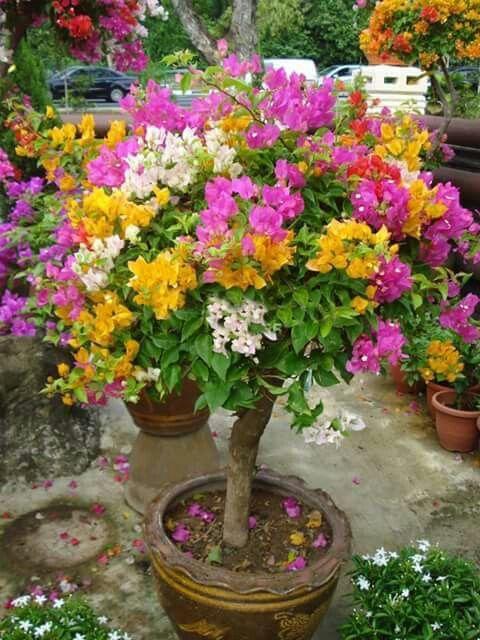 Primavera com enxertia de diversas cores