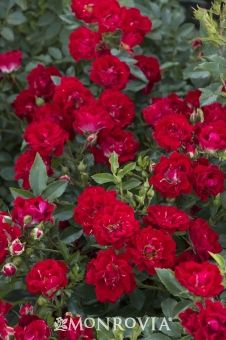 Monrovia's Red Drift® Groundcover Rose details and information. Learn more about Monrovia plants and best practices for best possible plant performance.