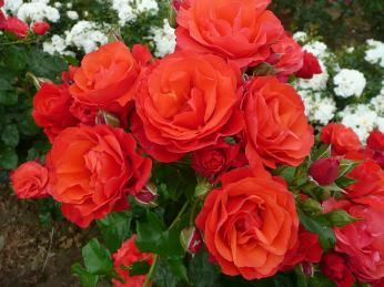 VICTORIA JOY (Diciwill) 2008                    £7.50     Stunning orange-vermilion with yellow base.    Average height, bushy habit, pleasant scent.   Included in the catalogue as a result of a private naming.