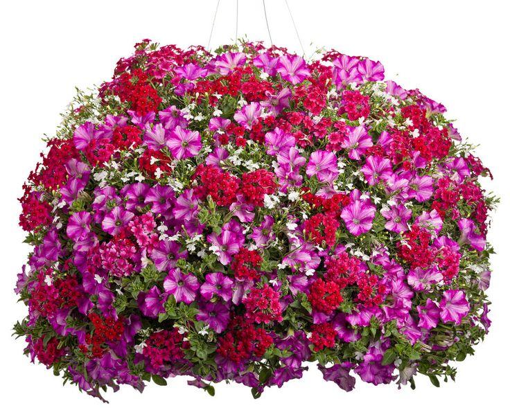 Rock Star - Proven Winner Plants - Verbena Tukana Raspberry, Lobelia Laguna White, Supertunia Raspberry Blast.