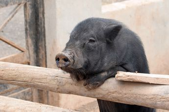 3 Little Pigs - for the Internet Marketer: Pig Pigs, Adorable Pigs, Animals Love, Little Pigs, Animal Rights, Mini Pigs, Cute Pigs, Piglet