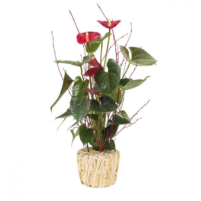 Planta Anthurium rojo. Para tener un detalle perfecto con una persona especial con esta bonita planta decorativa de Anthurium rojo, llamativa por sus grandes hojas en forma de corazón. Un regalo que encantará por su colorido y viveza y que además será de larga duración.