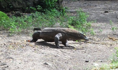 Komodo dragon, the world's largest living lizard. Many filmmakers are inspired by this monster. As far as I know, there are Komodo (1999), The Curse of the Komodo (2004), Komodo vs. Cobra (2005).