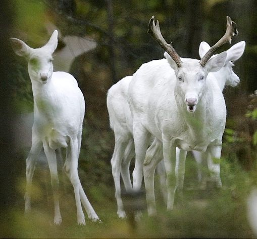 large Albino Buck deer is seen with other Albino Whitetail Deer in the Northern Highland American Legion State Forest, Boulder Junction, Wisconsin.    Read more: http://www.nydailynews.com/life-style/albino-animals-gallery-1.26671#ixzz1udOm9l2q