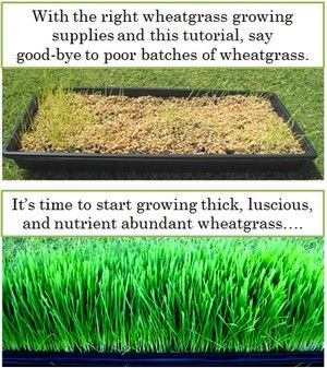 how to grow wheatgrass at home india