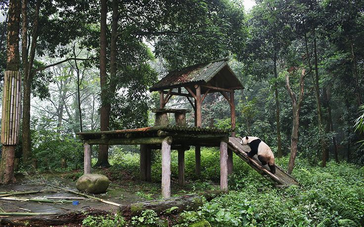A giant panda climbs onto a platform at the panda research base in Ya'an, China. China's Sichuan province is home to the majority of the the world's nearly 1,900 endangered giant pandas.