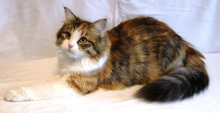 siberian forest cats, hypoallergenic siberian cats, traditional siberian cats, raised in our home