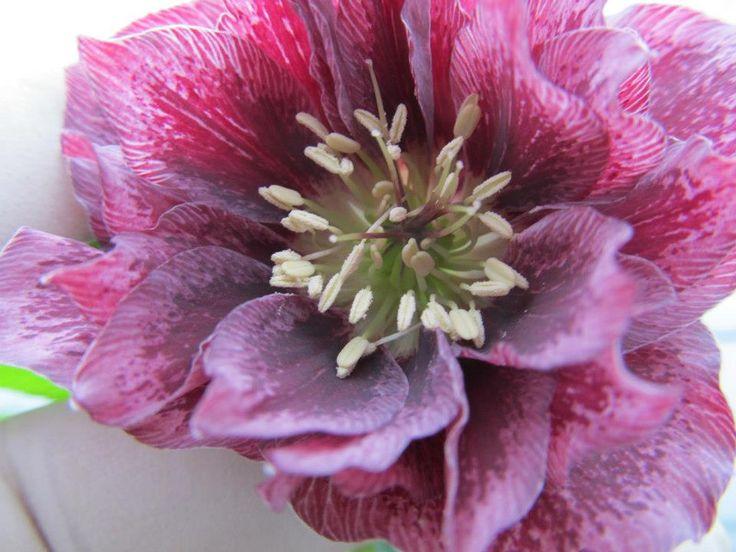 Helleborus orientalis dubbel roze gevlekt