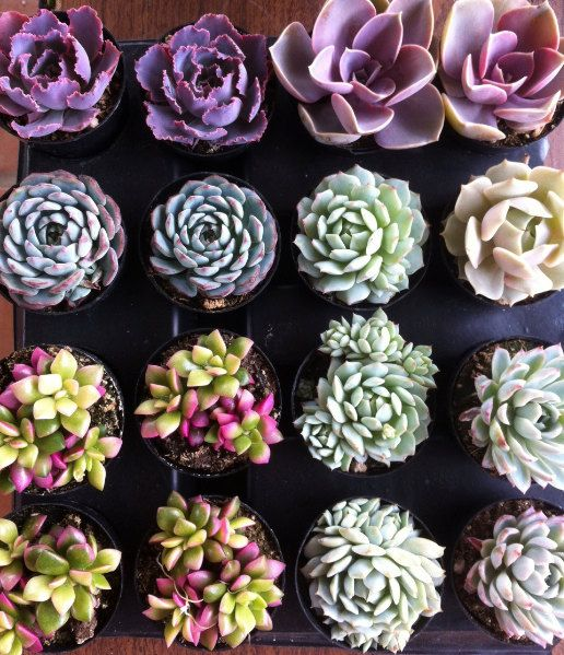 Succulent Plants - 30 Party Pack  For Terrariums, Wedding, Favors, Centerpieces, Boutonnieres and More. $60.00, via Etsy.