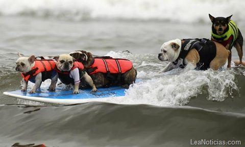 Perros surfistas, la increíble competencia de surf (FOTOS) - http://www.leanoticias.com/2011/10/11/perros-surfistas-la-increble-competencia-de-surf-fotos/