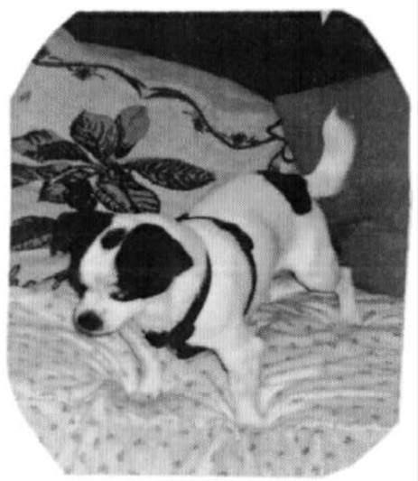 """""""Pepe es un cruce de Chihuahua y ratonero al que recogí con 5 meses de un criadero donde estaba. Ahora tiene siete años y es la alegría de mi casa""""."""