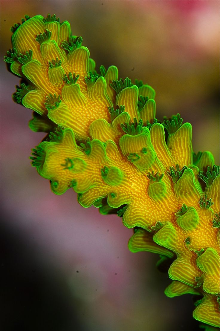 Acropora coral - close up