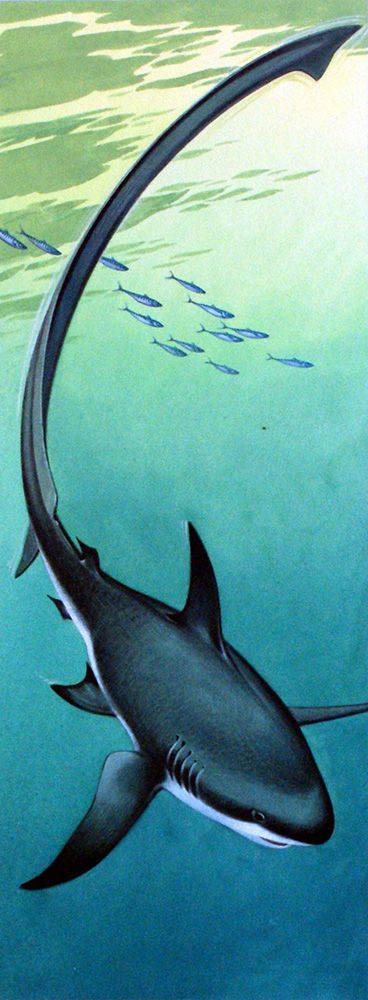 Bernard Long - Thresher Shark