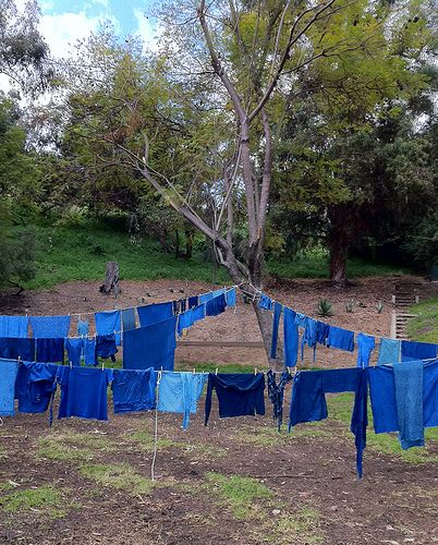 Dyeing with Woad