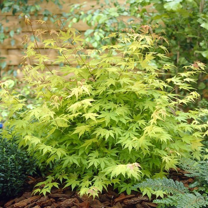 Les 86 meilleures images du tableau acer palmatum sur pinterest acer palmatum jardins - Erable du japon orange dream ...