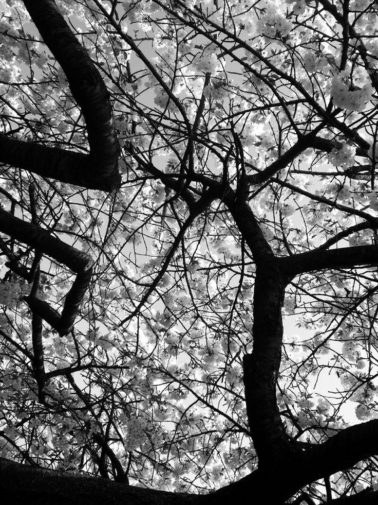 Cerisier Japonais - Paris  Jardin des plantes au printemps.