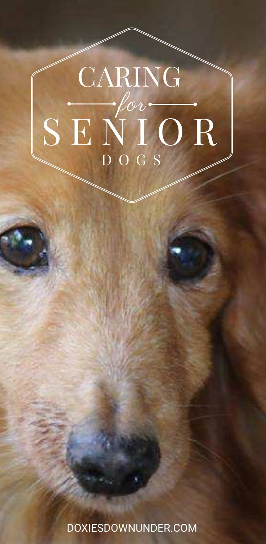 Caring for senior dogs #dachshund #dog