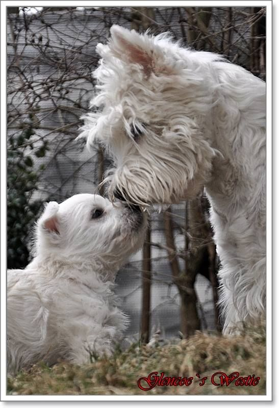 A Mother's Love. <3 www.glencoes-westies.de