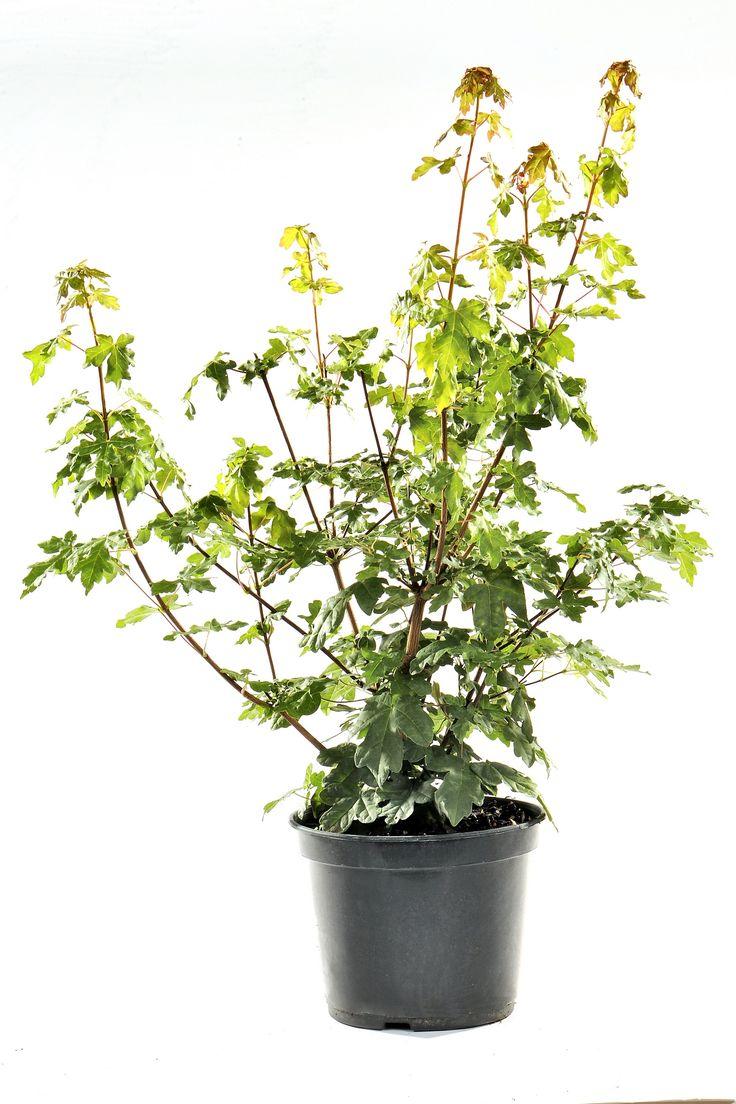 30 best haie libre images on pinterest hedges plants. Black Bedroom Furniture Sets. Home Design Ideas