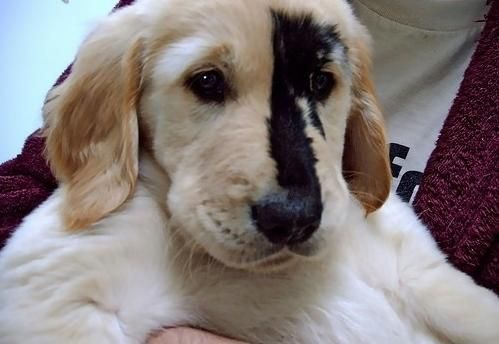 This cute Golden Retriever puppy was born with a unique birthmark. - Imgur