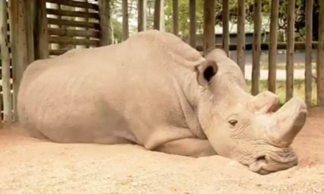 White rhinos 'move close to extinction' as health of last male worsens