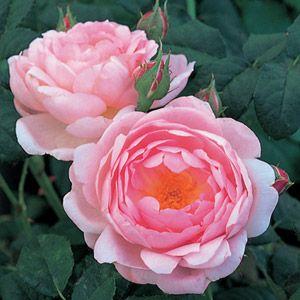 SCEPTER'D ISLE by #DavidAustin ... I love this #rose! #legeorgiche #venditapianteonline